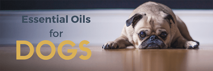 Safe ways to use essential oils for dogs including the best essential oils for fleas and soothing essential oils for dog arthritis.