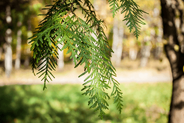 cypress essential oil uses and benefits